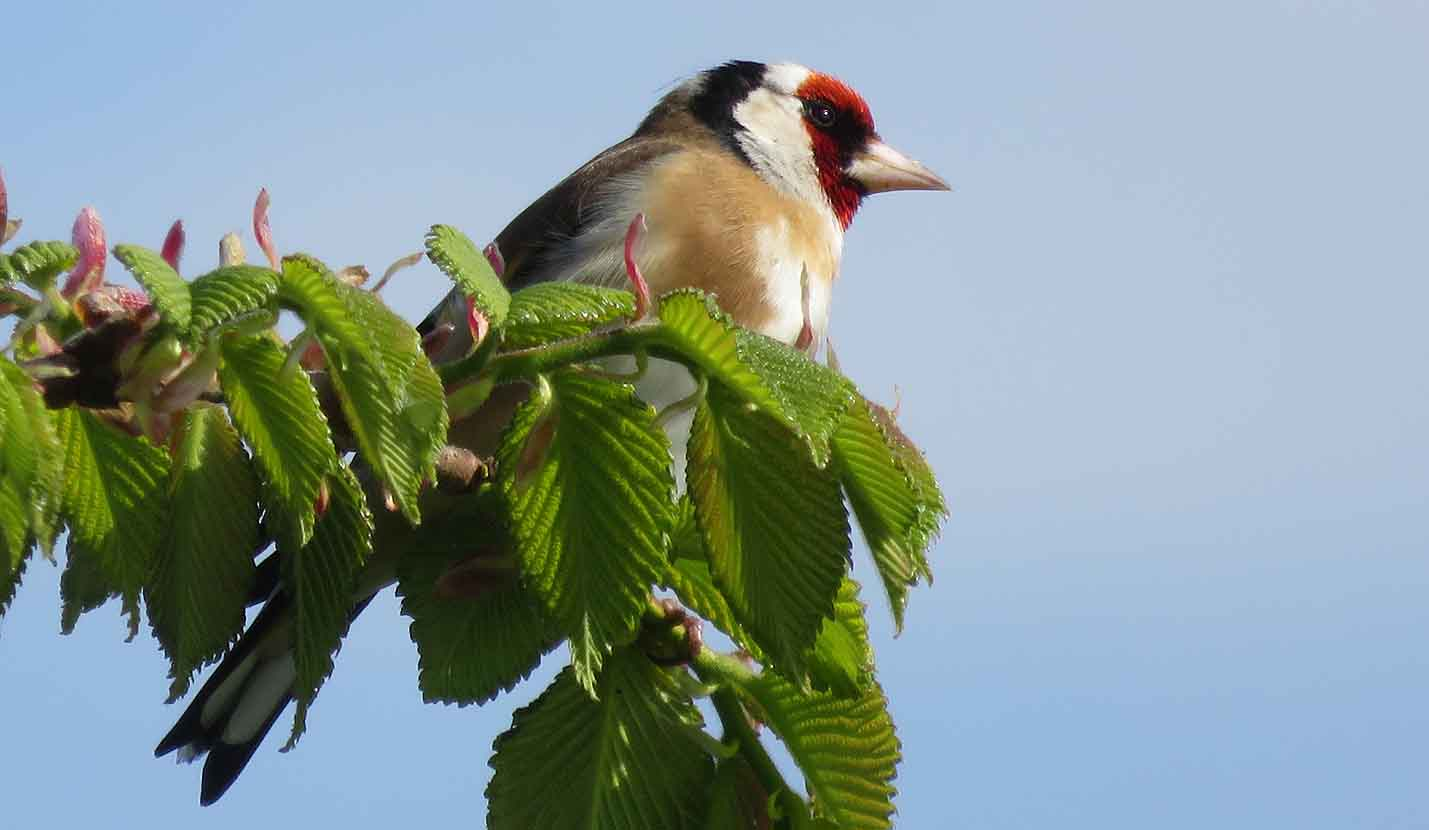 A Goldfinch